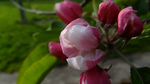 Apple Blossom by Adrelinen