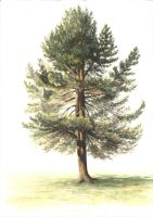 Pine Tree Watercolor by AndyPfenninger