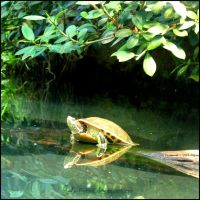 Turtle Reflections I by Tienna