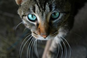 Blue Eyed Cat by GretchenGuse
