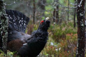 Capercaillie by MikaP
