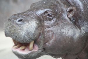 Pygmy Hippo  close up by Dinalfos5