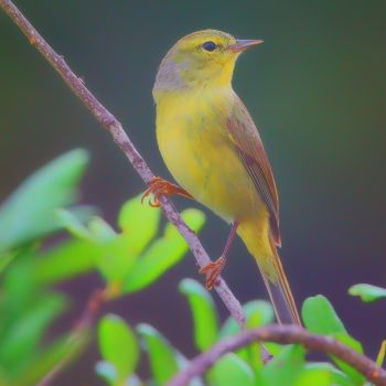 First Year Wilson's Warbler by clippercarrillo