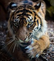 Tiger Eyes by jbrum