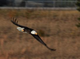 Bald Eagle flying low by twombold