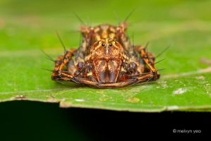 Lynx Spider by melvynyeo