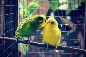 lovebirds. by michifish