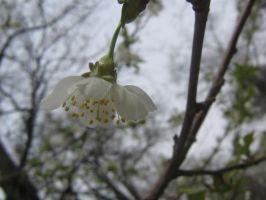 apple blossom 02 by CotyStock