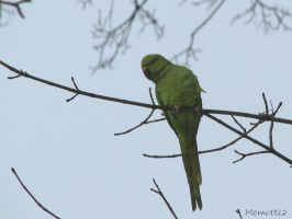 Parrot in the winter by Momotte2