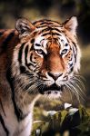 Siberian Tiger I by Schoelli