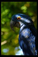 Hyacinth Macaw by rgphoto777