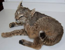 Bobcat mount for sale by Phoenix-Cry