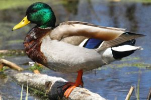 Brillant Mallard Drake by natureguy