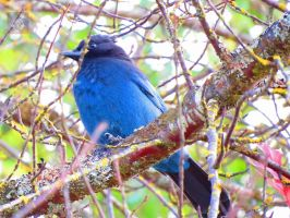 Steller Jay In Tree by wolfwings1