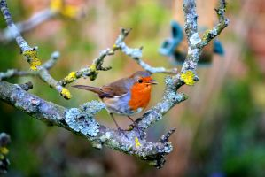 Robin by Madame-Mabsoot