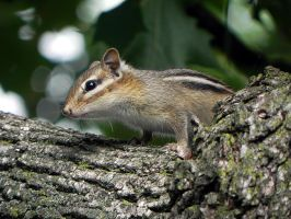 chipmunk in the tree by Lou-in-Canada