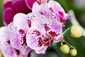 Pink orchid flowers by a6-k