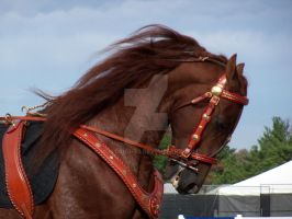 Beautiful Morgan Horse by Mustang-93