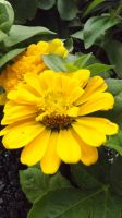 Double Marigold by DarlingChristie