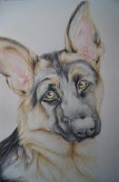 German Shepherd by Sweet-White-Wolf