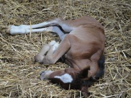 Lying Bay Foal by Horselover60-Stock