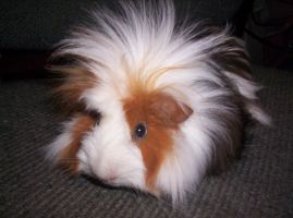 Spikey Haired Guinea Pig by Hazyheath