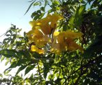 Golden trumpet flower by LaCleriga