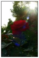 Red Rose Flare by Frostola