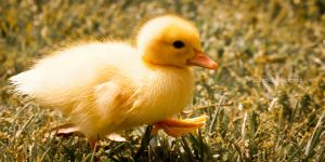 Baby Duck walking by Nicho90