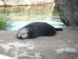 sleepy otter by missmichellini