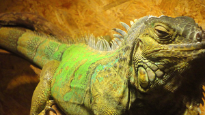 Green Iguana by percyArts