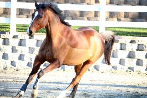 Cantering Horse Stock [no rider] by bedfordblack