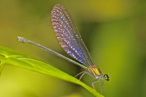 Metallic green Damselfly by melvynyeo