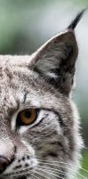 Lynx9 by PictureByPali