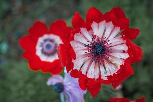 Red Flower by nfp