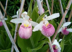 Light pink lady's slippers by Ripplin