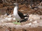 green-footed blue-footed booby by Simbas-pal