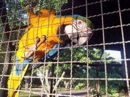 macaws by aprict