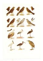 Antique birds print 13 by OMEGA86
