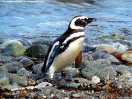 Magellanic penguin 4 by Cansounofargentina
