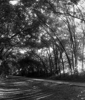 Canopy Trees - 2 by AllieCat33