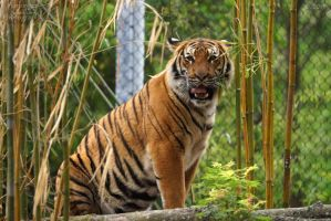 Malayan Tiger 56 by HarbingerPhotography
