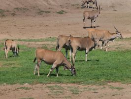 Eland herd by photographyflower