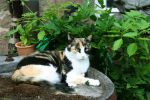 That gorgeous Calico Cat. by Blessed-By-Fortune