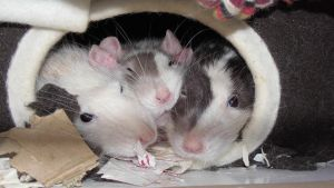 Three cute rats by OP-Girl16