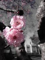 Cherry Blossom by cynfullpryde