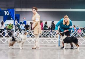 Australian Shepherds in the Ring by petrichore