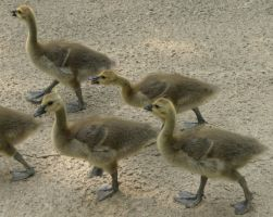 723 - goslings by WolfC-Stock