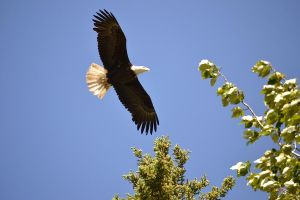 Bald eagle, Eklutna Lake, Alaska by Kennyfiddler