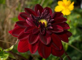Dahlia Philippe 0460 by BiBiARTs